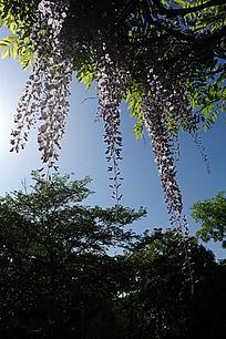 垂挂的紫藤花