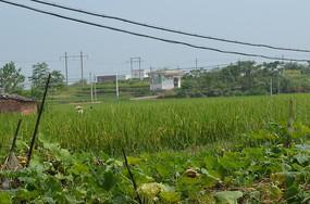 稻田水稻风景图片