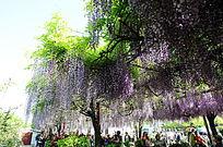 大片紫藤花