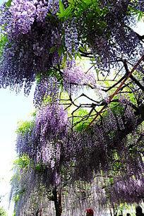 大片紫藤开花
