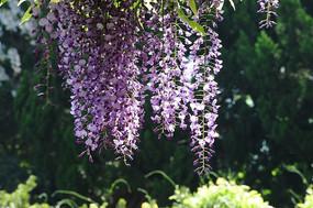 高清紫藤花
