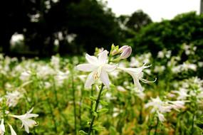 花园里的白色玉簪