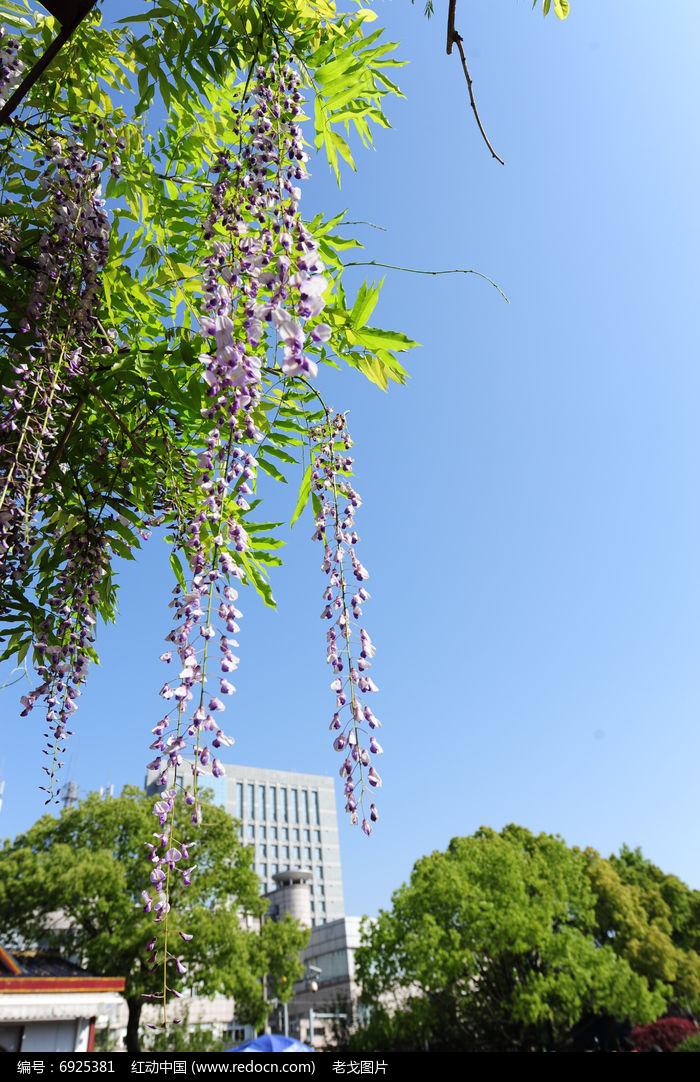 空中的紫藤图片