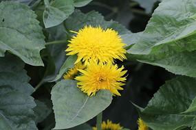 两朵开放的向日葵