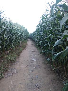 农村玉米地