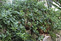 沙生绿色藤蔓植物