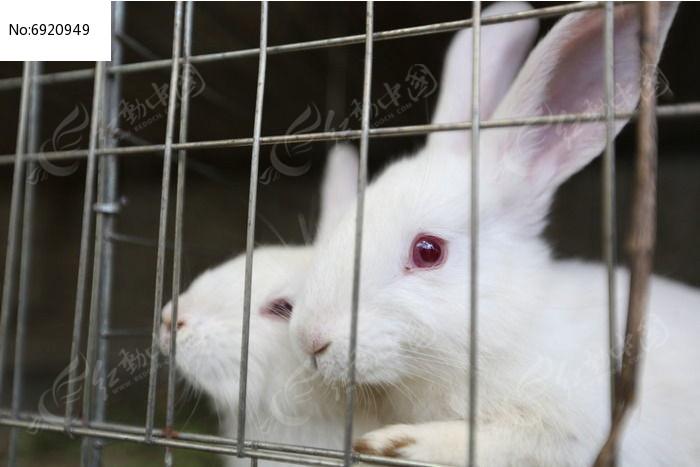 铁笼子里的两只小白兔图片
