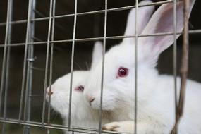 铁笼子里的两只小白兔