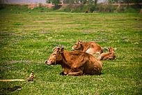 铜官河边的三头牛
