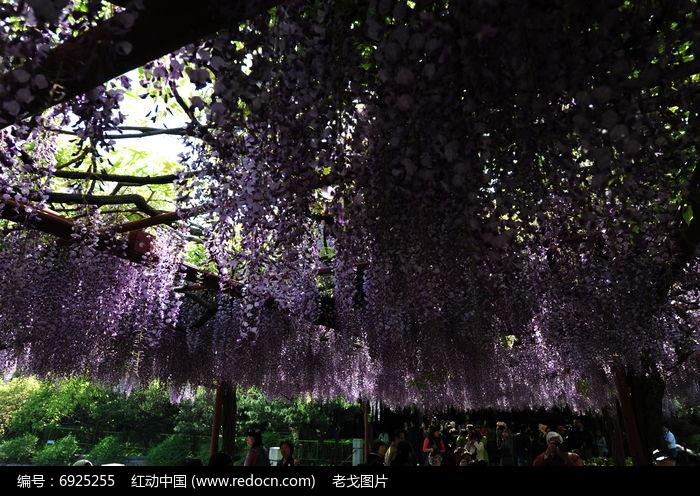 团簇的紫藤花图片