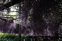 团簇的紫藤花