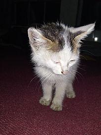 夜晚低头注视的小花猫