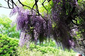 一簇紫藤花