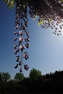 一束紫藤花