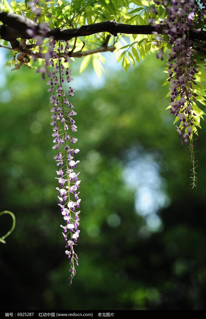枝下紫藤花图片