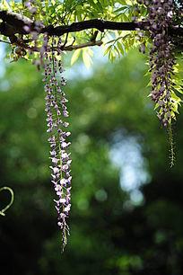枝下紫藤花