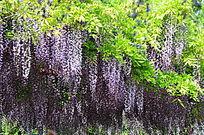紫色与绿色相间