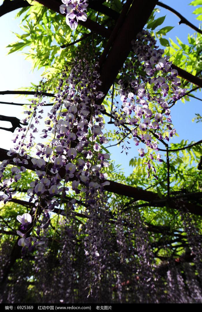 紫藤花架图片