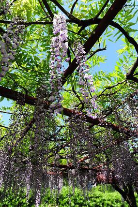 紫藤花架花盛开