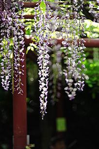 紫藤花近摄