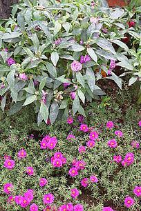 粉色蚂蚱菜花与指甲花
