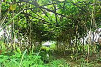 瓜棚庄稼图片