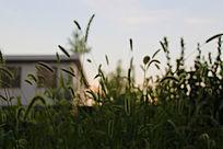 美丽的狗尾草背景图
