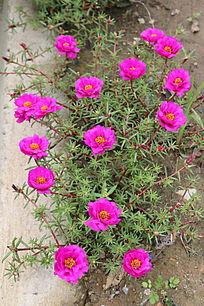 一簇粉色蚂蚱菜花