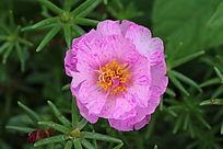 一朵水粉色蚂蚱菜花