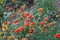 一片唯美的虎皮菊