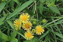 金黄的野菊花
