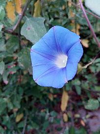 鲜艳的蓝色喇叭花