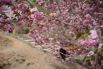 樱花树下的石阶