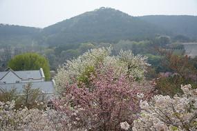 远山与樱花