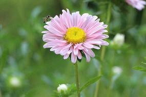 粉色唯美菊花