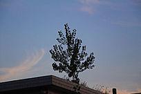 平房上生长的杨树