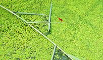 草叶上休息的红蜻蜓-昆虫世界