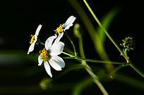 光影白色小野花花朵特写图片