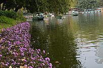 湖畔的粉色小喇叭花