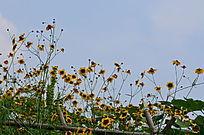 蓝天白玉下的小黄花风景图片