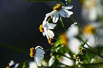 特写白色野菊花风景图片