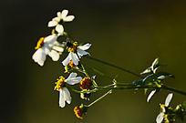 特写光影白色小野花风景图片