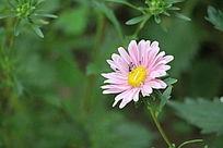 一朵美丽的粉菊花