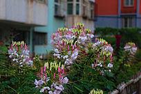 一片美丽的醉蝶花