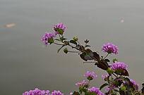 一株粉色小花