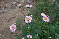 一株美丽的粉菊花