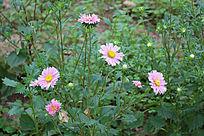 一株美丽的粉色菊花
