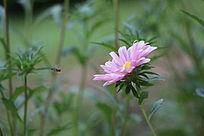 张开怀抱迎接蜜蜂的菊花