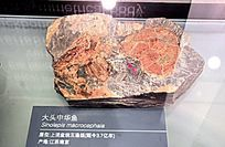 大头中华鱼(距今37亿年)