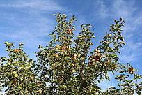 树梢上成熟的果实